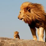 6926460-male-lion-with-cub-crop
